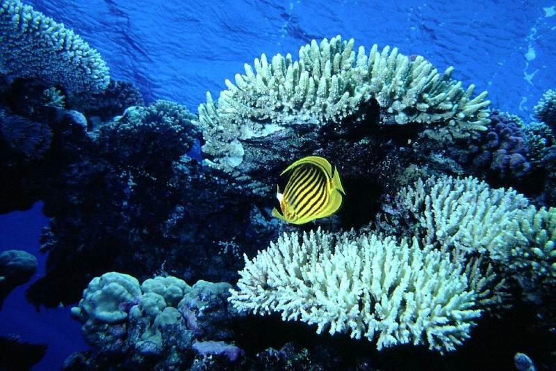 Tauchsicherheit, Tauchsignalgeber,, Falterfisch Hurghada by tauchsignalgeber.de