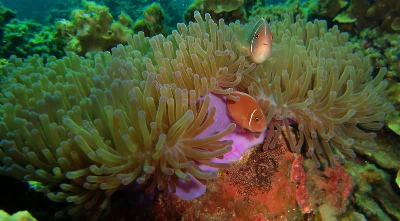 Tauchsicherheit, Tauchsignalgeber, Anemone mit Clownfischen bei Koh Samui