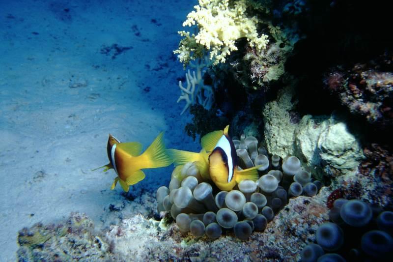 Tauchsicherheit, Tauchen Signalgeber, Clownfische