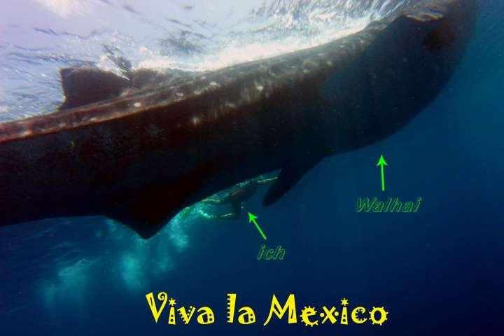 Walhai Mexiko by Tauchsignal